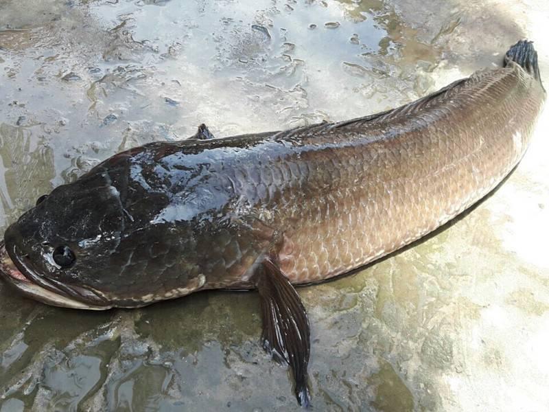 Cá lóc đồng có phần thịt săn chắc và thơm ngon hơn